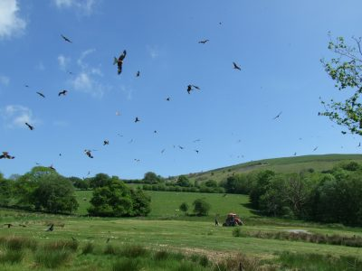 Red Kite Aerial Display